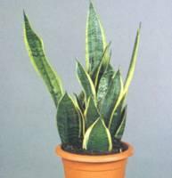 Домашнее растение Сансевиерия