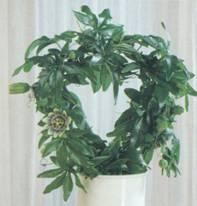Домашнее растение Пассифлора