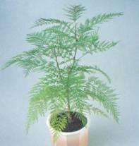 Домашнее растение Гревиллея