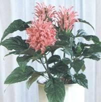 Домашнее растение Якобиния