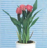 Домашнее растение Калла