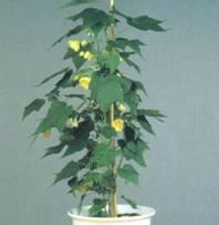 Домашнее растение Мальва
