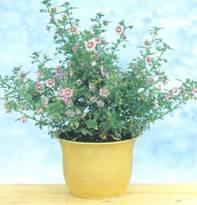 Домашнее растение Анизодонтея