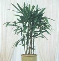 Домашнее растение Архонтофеникс