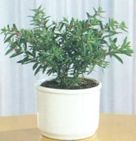 Домашнее растение Куфея