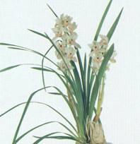 Домашнее растение Цимбидиум