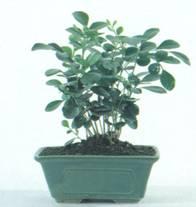 Домашнее растение Муррайя
