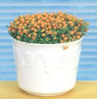 Домашнее растение Нертера