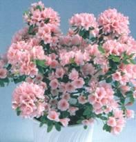 Домашнее растение Рододендрон