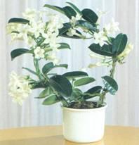 Домашнее растение Стефанотис