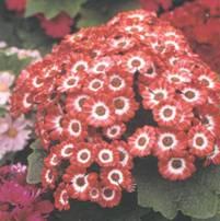 Домашнее растение Цинерария