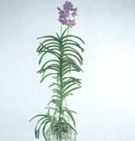 Домашнее растение Ванда