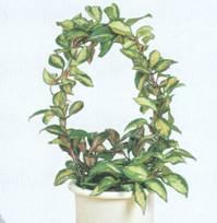 Домашнее растение Плющ восковой