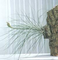 Домашнее растение Тилландсия ситниковая