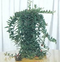 Домашнее растение Эсхинантус Лобба