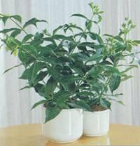 Домашнее растение Алламанда