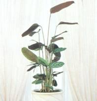 Домашнее растение Ктенанта