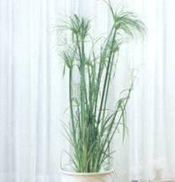Домашнее растение Циперус
