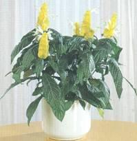 Домашнее растение Пахистахис