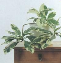 Домашнее растение Пизония