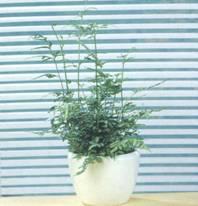 Домашнее растение Птерис мечевидный