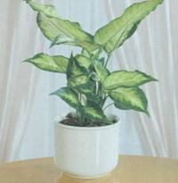 Домашнее растение Диффенбахия