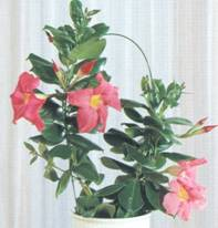 Домашнее растение Дипладения