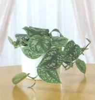 Домашнее растение Сциндапсус