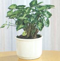 Домашнее растение Сингониум ножколистный