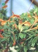 Домашнее растение Колумнея мелколистная
