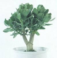 Домашнее растение Толстянка