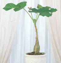 Домашнее растение Ятрофа