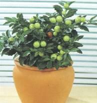 Домашнее растение Паслен