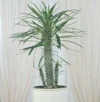 Домашнее растение Пахиподиум Ламере