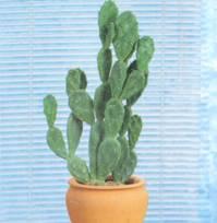 Домашнее растение Опунция