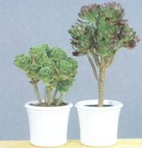Домашнее растение Эониум