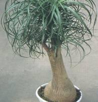 Домашнее растение Бокарнея