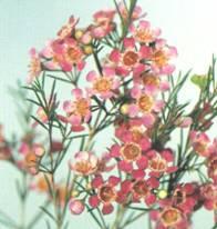 Домашнее растение Хамелациум