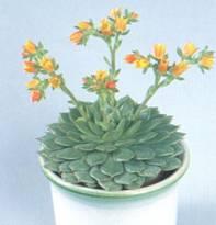 Домашнее растение Эхеверия