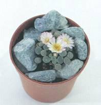 Домашнее растение Литопс