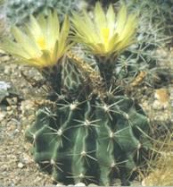 Домашнее растение Телокактус
