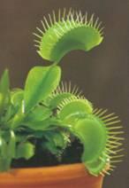 Домашнее растение Мухоловка