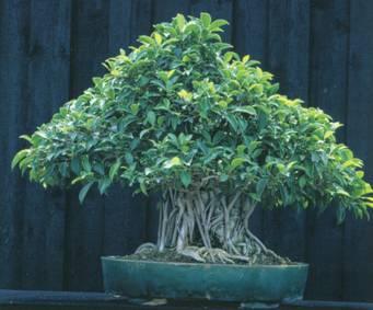 Комнатный бонсаи Ficus retusa