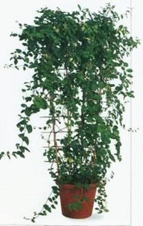Домашнее растение Жимолость