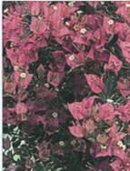 Домашнее растение Бугенвиллея