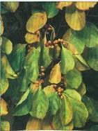 Домашнее растение Древогубец