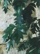 Домашнее растение Циссус Полосатый
