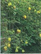Домашнее растение Дицентра