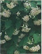 Домашнее растение Дрегея
