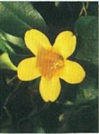 Домашнее растение Гельземиум